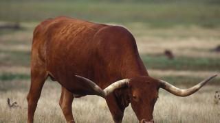 Texas longhorn cattle bull